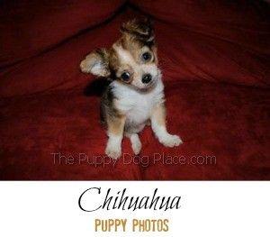Chihuahua chiots