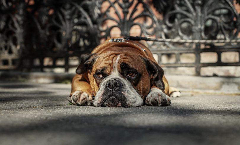 La dépression chez les chiens: les signes, les causes, les options de traitement et plus