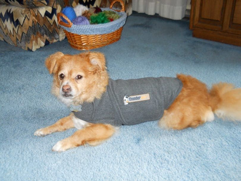 Thundershirt Dog Anxiété Solution