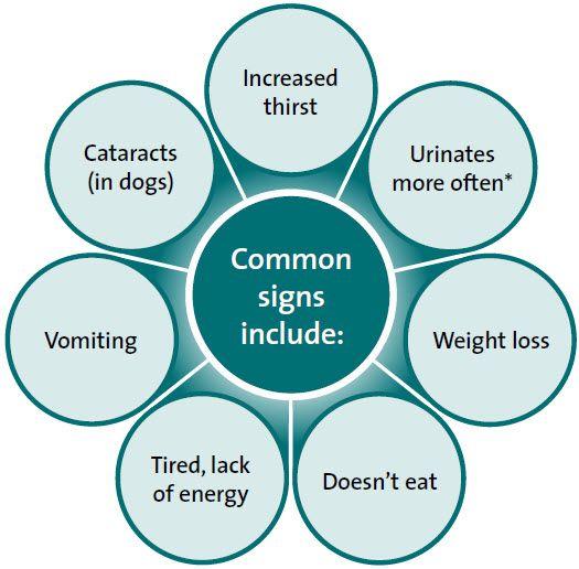 Le diabète chez les chiens, les symptômes, les causes et le traitement