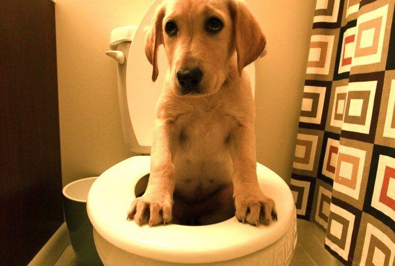 Diarrhée chez les chiens: symptômes et remèdes