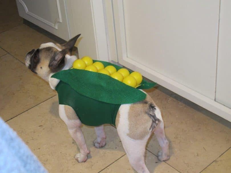 Chien en costume de maïs