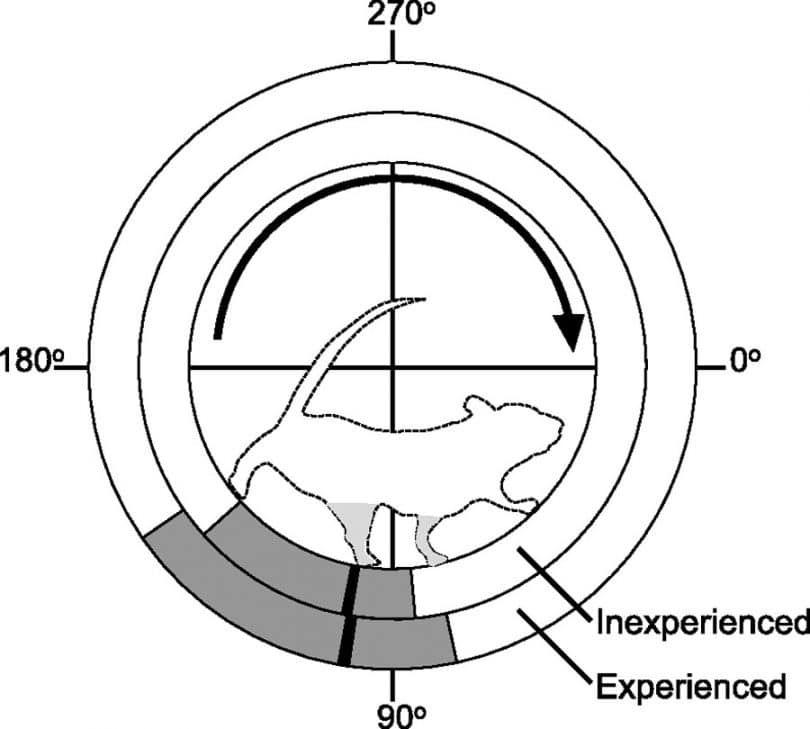 Rat en cours d`exécution dans les cercles
