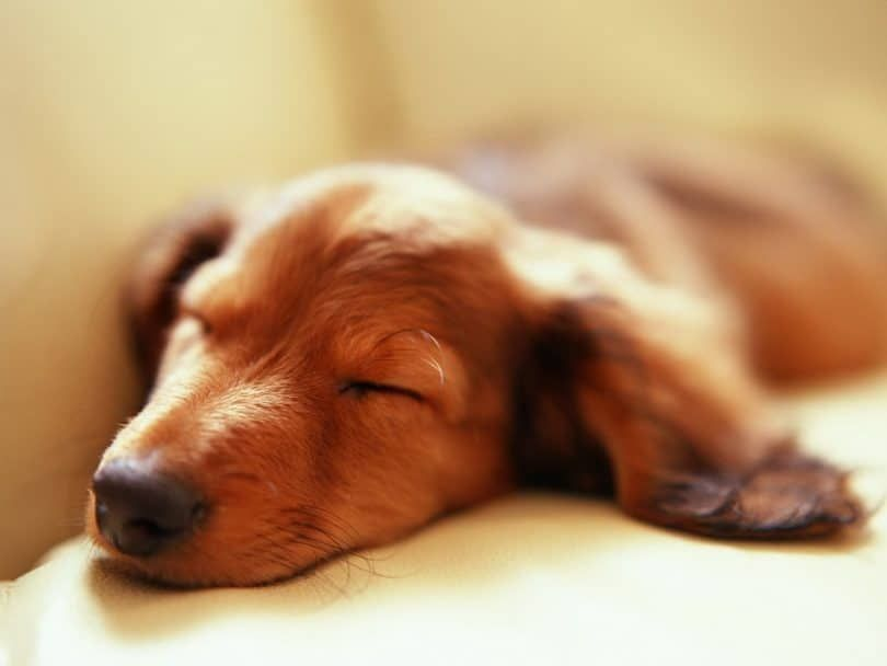 Sleeping chien et rêver