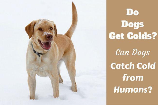 Est-ce que les chiens se rhume? Les symptômes, la prévention et le traitement