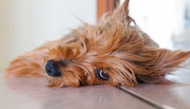 Est-ce que les chiens ont des périodes? Une question potentiellement salissante répondu