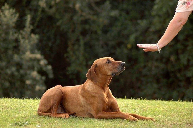 La formation d`un chien