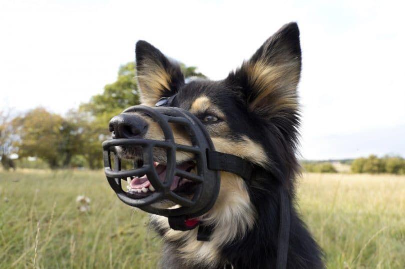 Dog doit avoir muselières