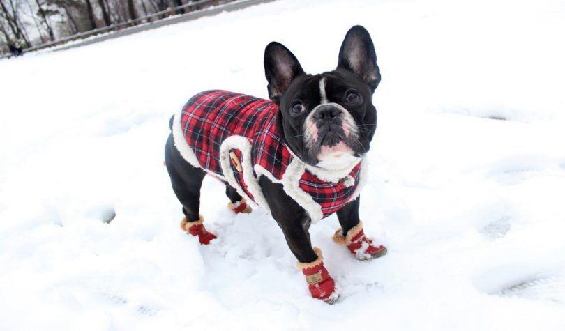 bottillons de chiens pour la neige: prendre soin des pieds de votre chien en hiver