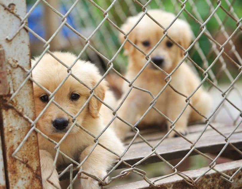 Les chiots enfermés dans la cage,