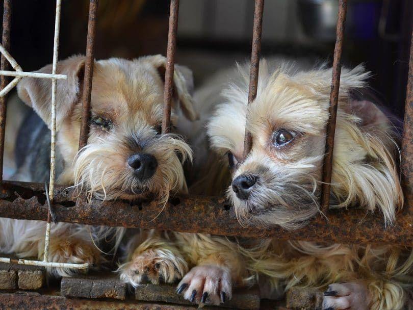 Puppy-Mill sans soins vétérinaires