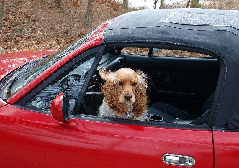 Dog sécurité automobile: profiter de la balade avec votre animal de compagnie