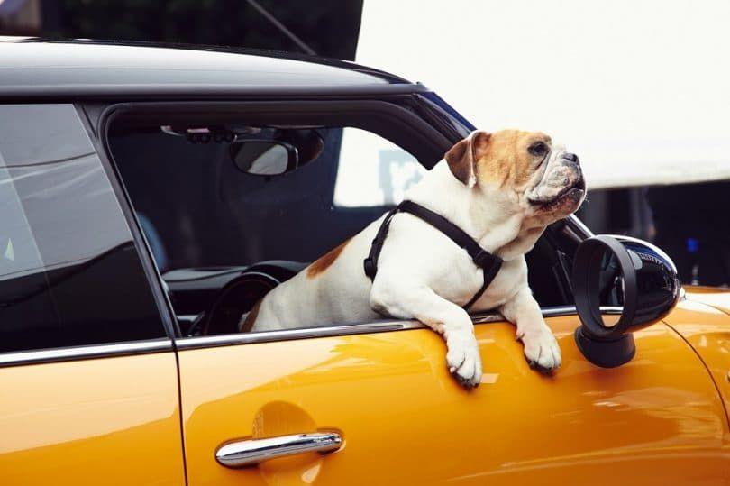 bulldog anglais dans la voiture