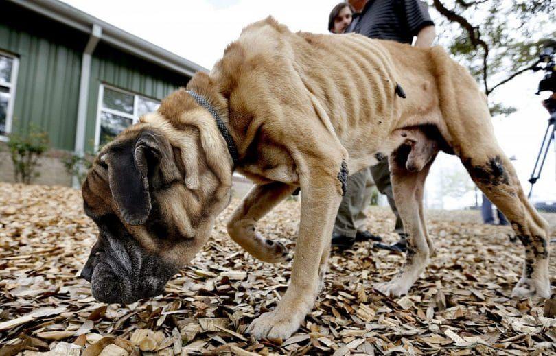 grande négligence Dog