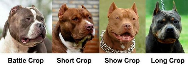 Dog styles oreille de culture