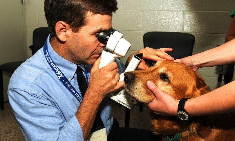 Chien oeil allergies: symptômes, causes et remèdes de base