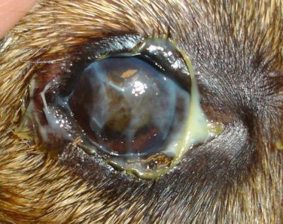 Eye Dog Boogers, comment se débarrasser de Boogers oculaires chez les chiens