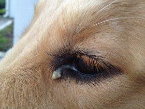 décharge des yeux de chien jaune, vert - causes, les traitements, les remèdes maison, images