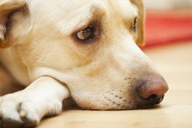 yeux de chien