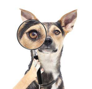 En regardant des problèmes oculaires chien