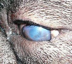 Entropion Canine - problèmes oculaires chien