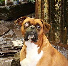 Canine Glaucome - problèmes oculaires chien