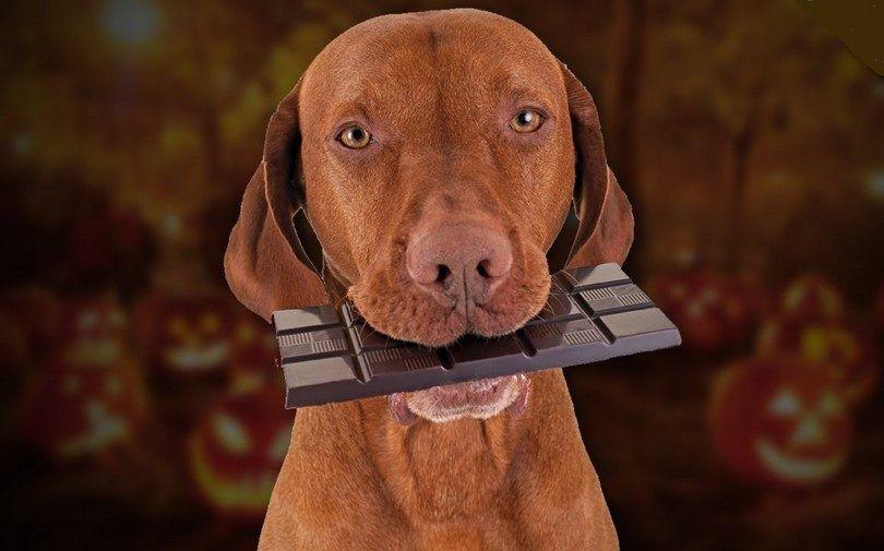 tenant un chocolat chien