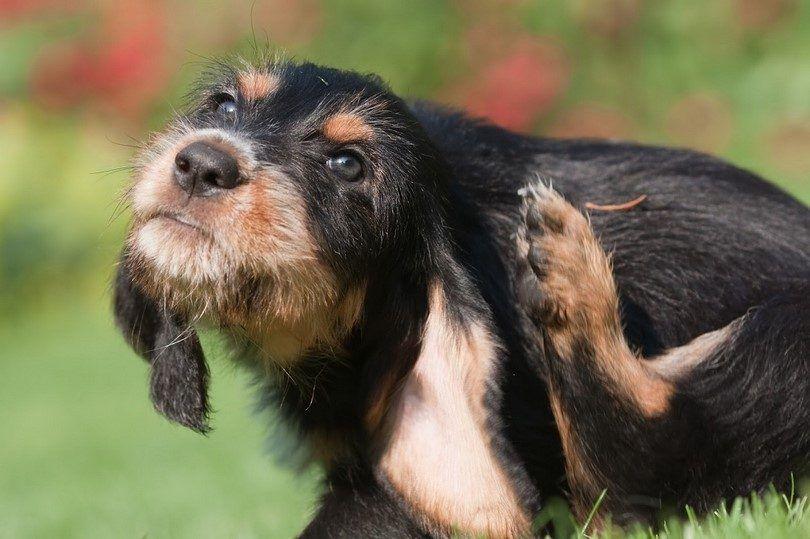 Chien allergie herbe: une allergie de chien atopique et ses traitements