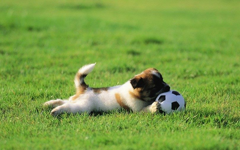 Puppy démangeaisons dans une herbe
