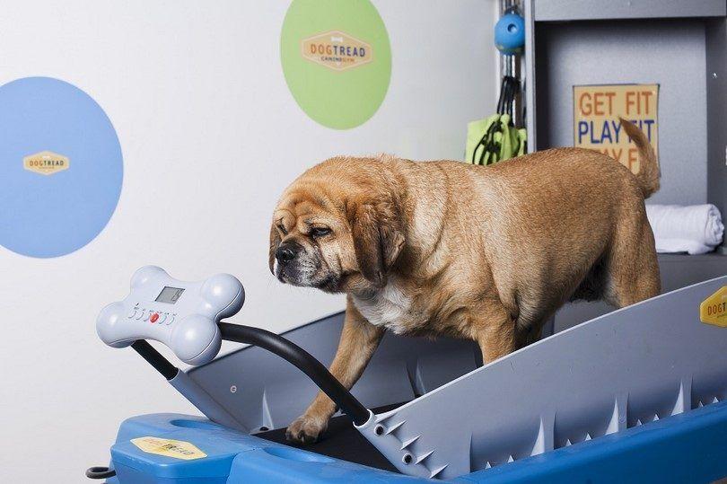 Chien perdre du poids: est le poids de mon chien en bonne santé?