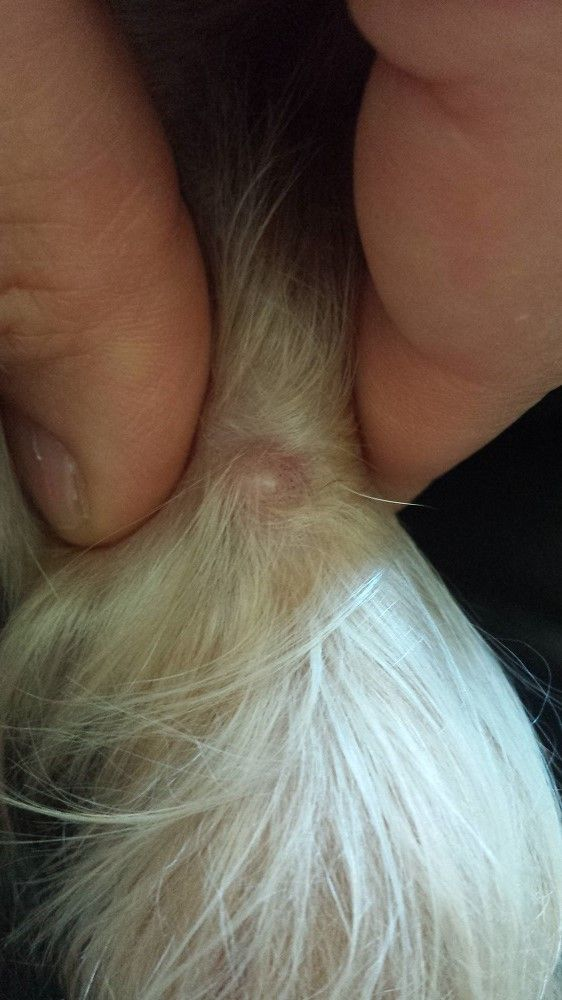 acné Dog