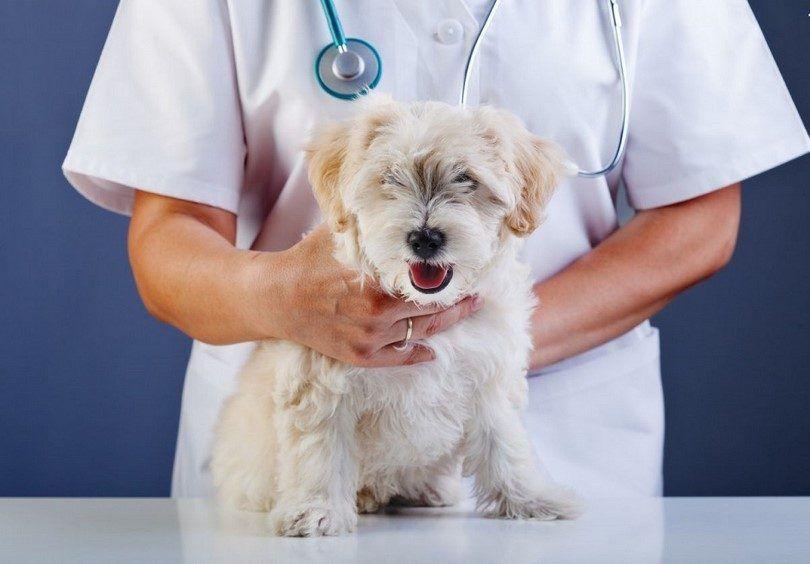 Chien au contrôle vétérinaire