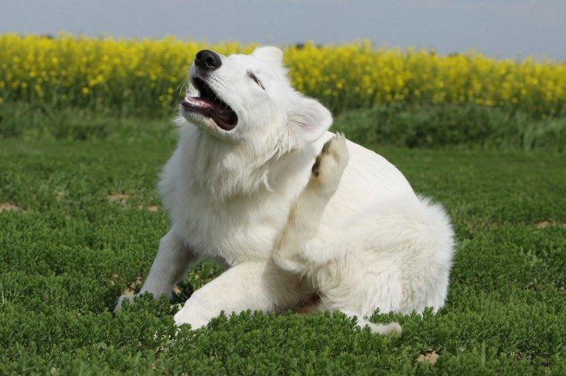 Dog allergies de la peau: comment aider votre chien à surmonter démangeaisons de la peau