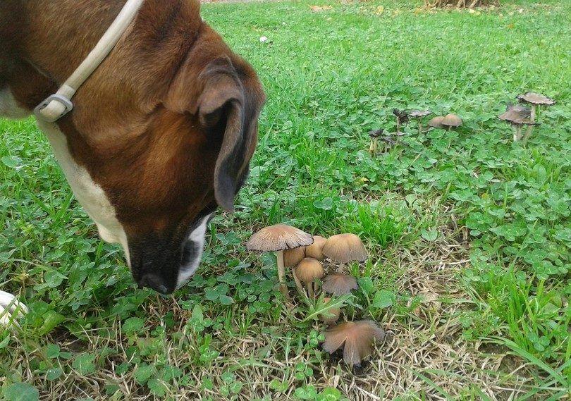 Chien manger un champignon