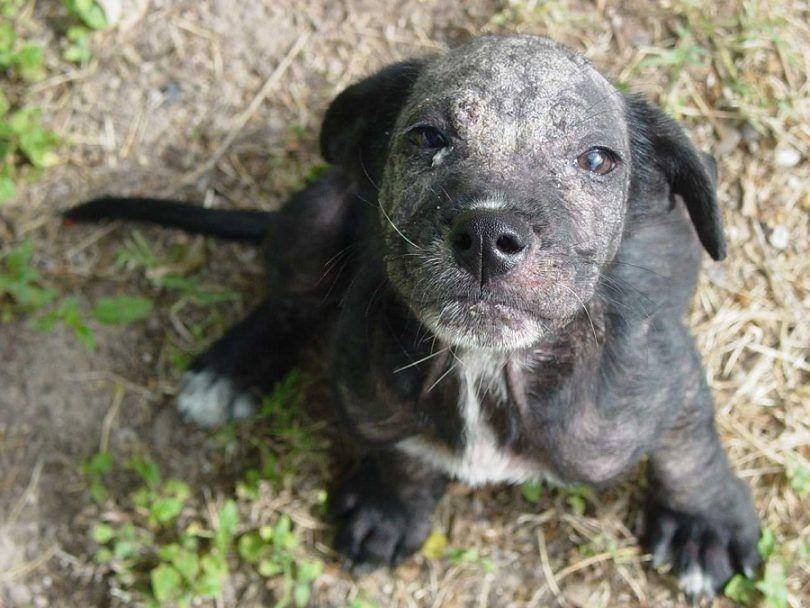 Dog problèmes de peau: la plupart des problèmes et des méthodes de traitement communes