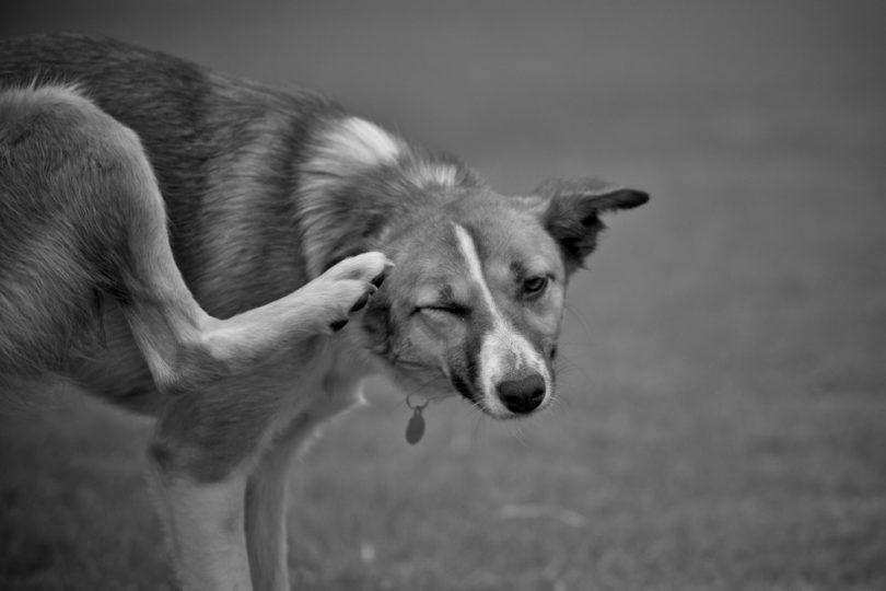 oreille de chien Itchy avec infection