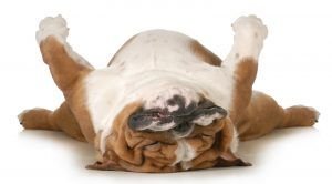 Dog ronflement de dormir vers le haut