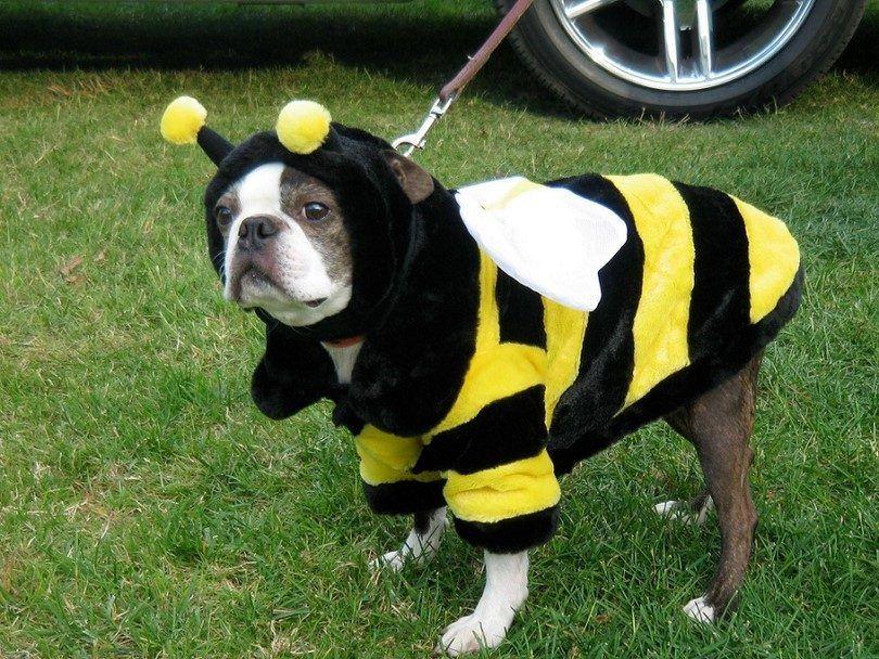 Chien piqué par des abeilles: risques pour la santé, les premiers soins et la prévention