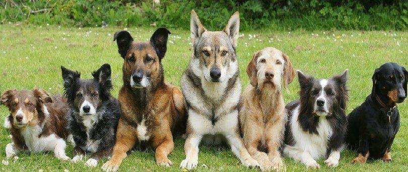 chiens dressés