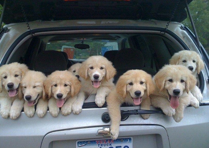 Chiots dans la voiture