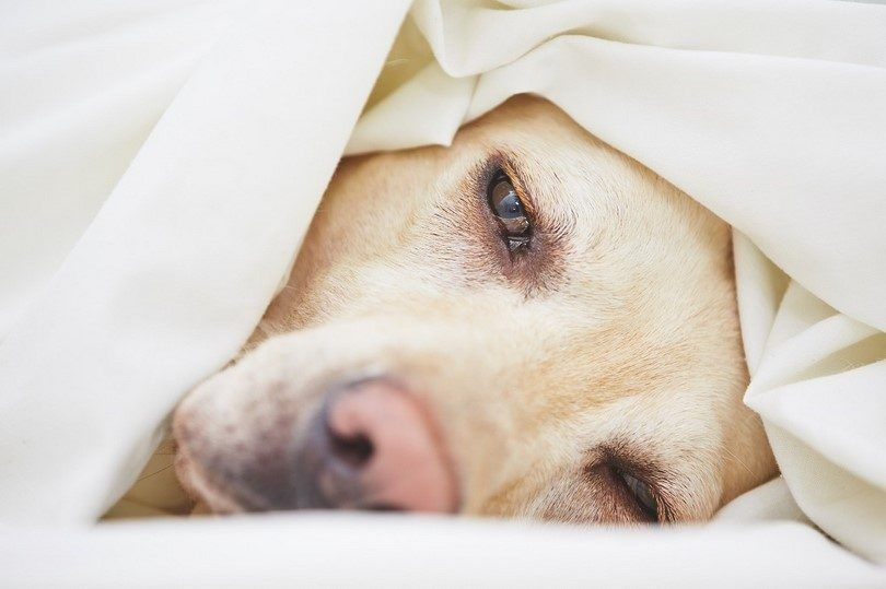 Chien au lit avec problème d`estomac