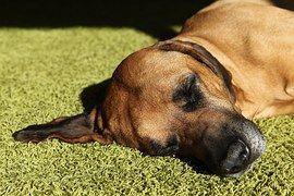 Toujours visiter le vétérinaire quand le chien garde des vomissements, semble léthargique ou a du sang teinté vomi. Ceux-ci peuvent être le signe de conditions sous-jacentes graves.