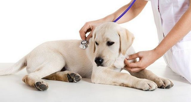 laboratoire jaune en cours d`examen par un vétérinaire
