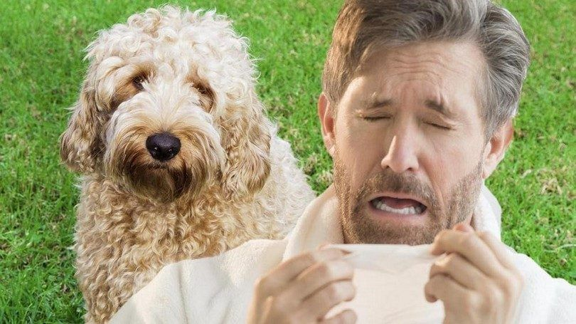 Les chiens pour les personnes souffrant d`allergies: trouver un animal de compagnie qui ne sera pas vous rendre malade