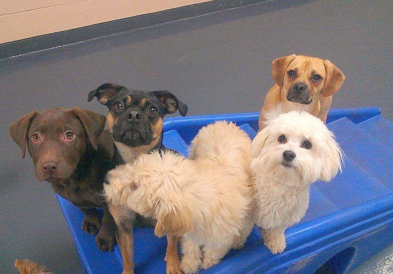Les chiens qui restent petits: club canin américain présente 20 races de chiens miniatures