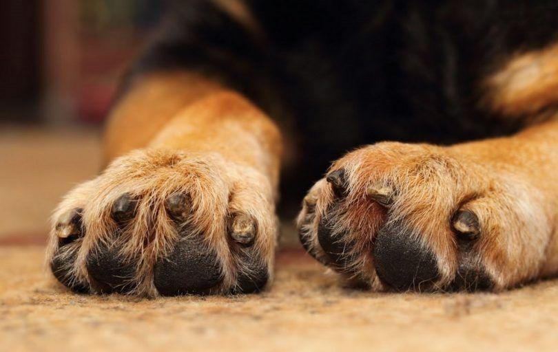 Les chiens avec les pieds palmés: cadeau ou une malédiction?