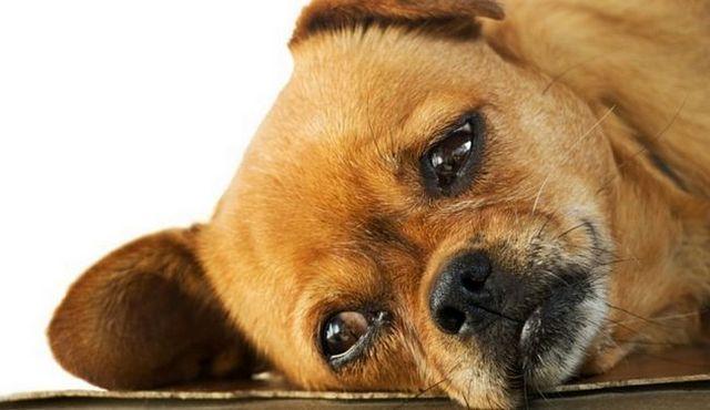 Down Boy: est amitriptyline pour les chiens sûrs?