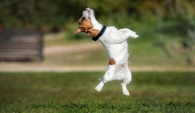 garçon vers le bas: la formation de votre chien avec un harnais pas de saut