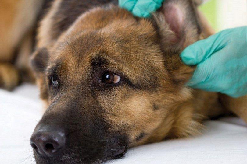 Infection de l`oreille chez les chiens: apprendre à ce sujet avant que les choses empirent