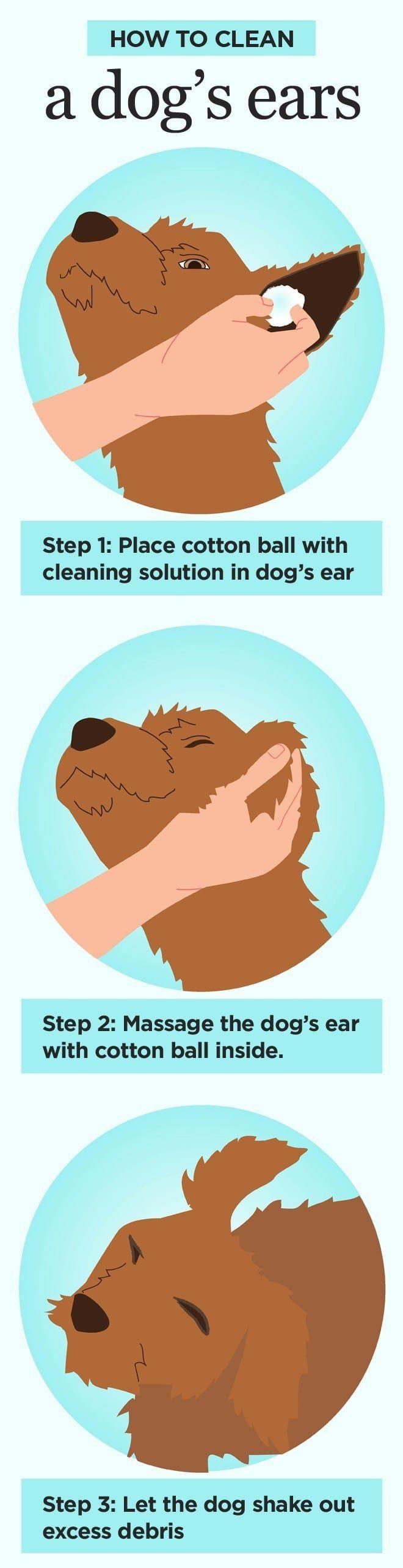 Comment nettoyer oreilles des chiens